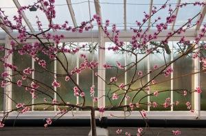 gfr.783 Nectarine blossom