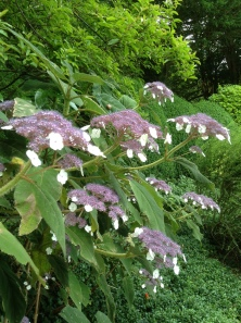 Hydrangea sargentiana on Woodland Walk