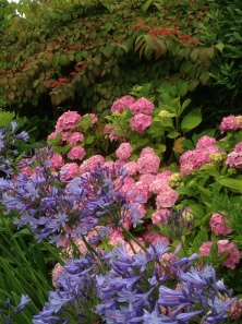 Hydrangea macrophylla with Agapathus in foreground