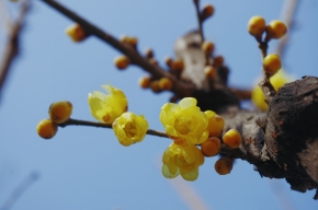 Wintersweet by Jane Perrone