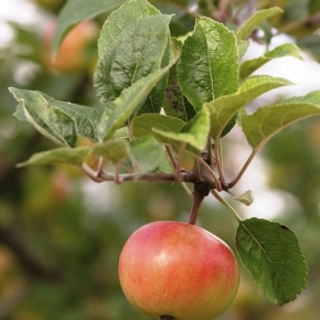 Will an apple a day keep the doctoraway?