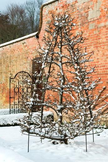 Espalier in the orchards, Pyrus Communis 'Glou Morceau' West Dean Gardensens