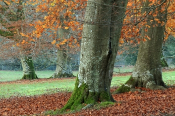 West Dean Gardens, Beech trees and leaves